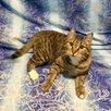 Молодой котик бесплатно по цене даром - Кошки, фото 4