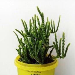 Комнатные растения - Крассула ложноплауновидная. Суккулент, 0