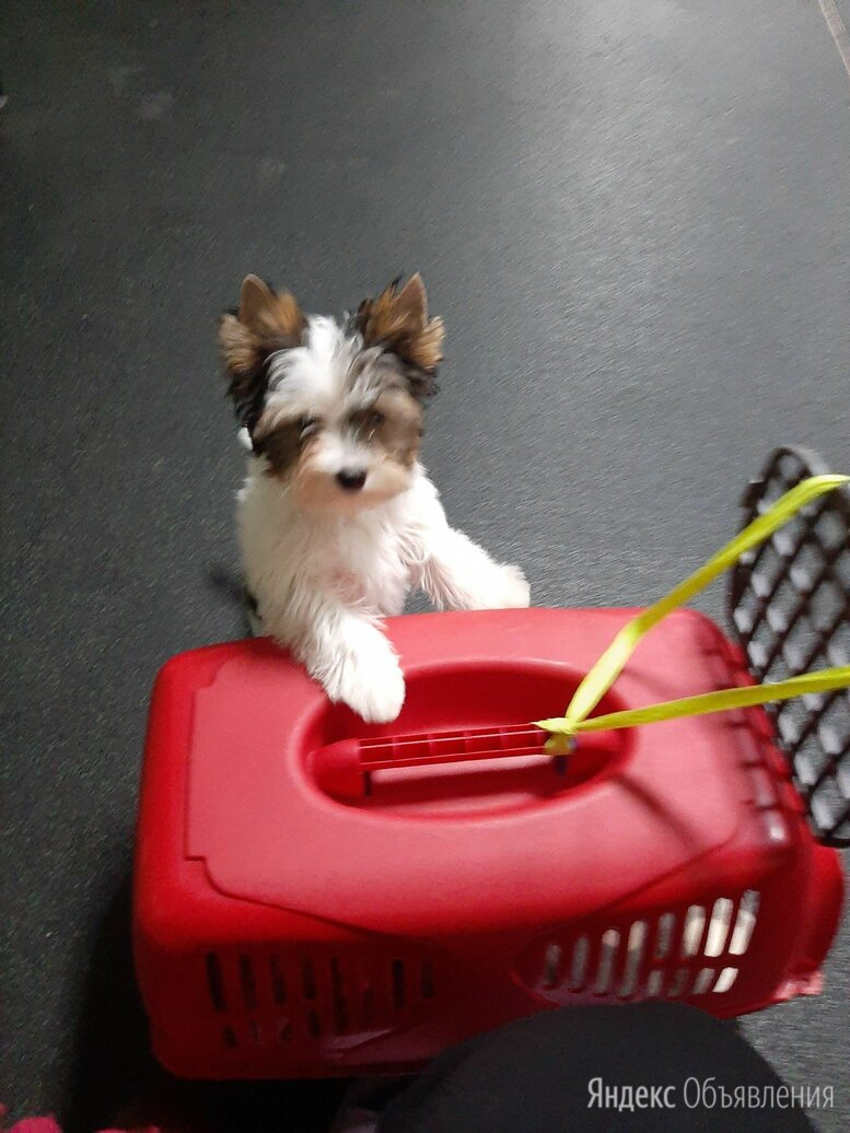 Бивер-йоркширский терьер по цене 30000₽ - Собаки, фото 0
