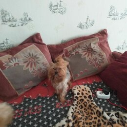 Собаки - Щенки йоркширского терьера, 0