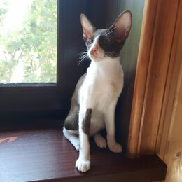 Кошки - Племенной ориентальный котенок   OSHb03, 0