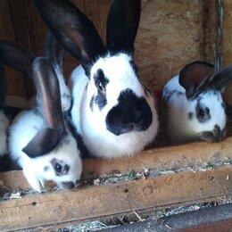 Кролики - Немецкий пестрый кролик (строкач), 0