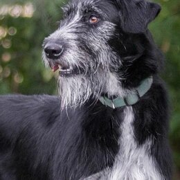 Собаки - Ирландский волкодав помесь с дратхааром, 0