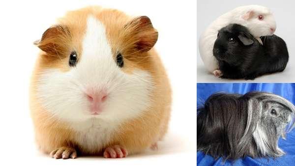Популярные породы морских свинок.