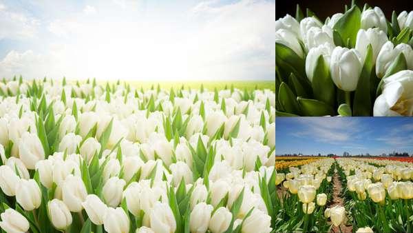 Фото белых тюльпанов в природе