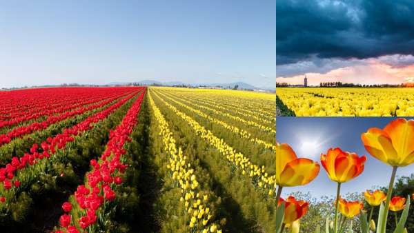 Фото тюльпанов разных цветов в природе