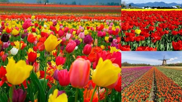 Фото природы: тюльпаны