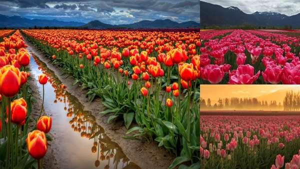 Фотографии природы: тюльпаны