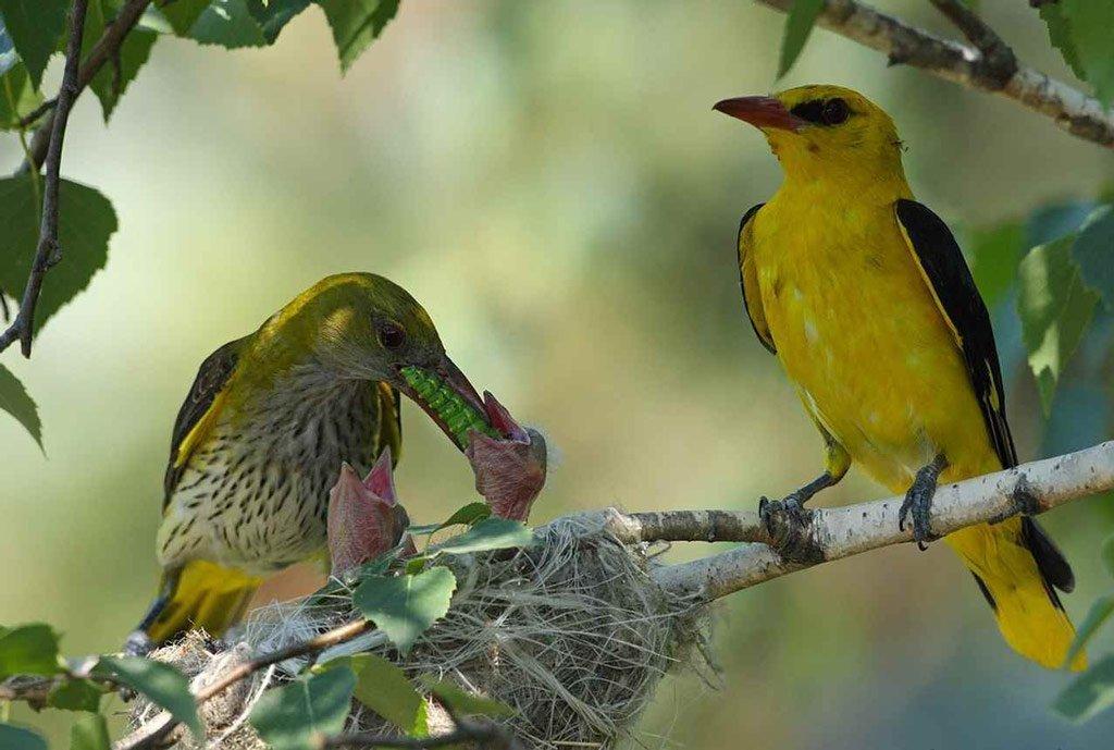 середине птенцы желтых птиц фото и название этом