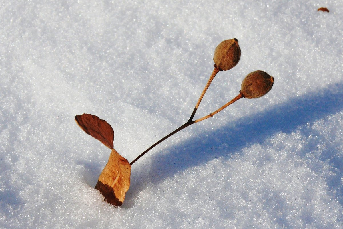 Картинка липы зимой