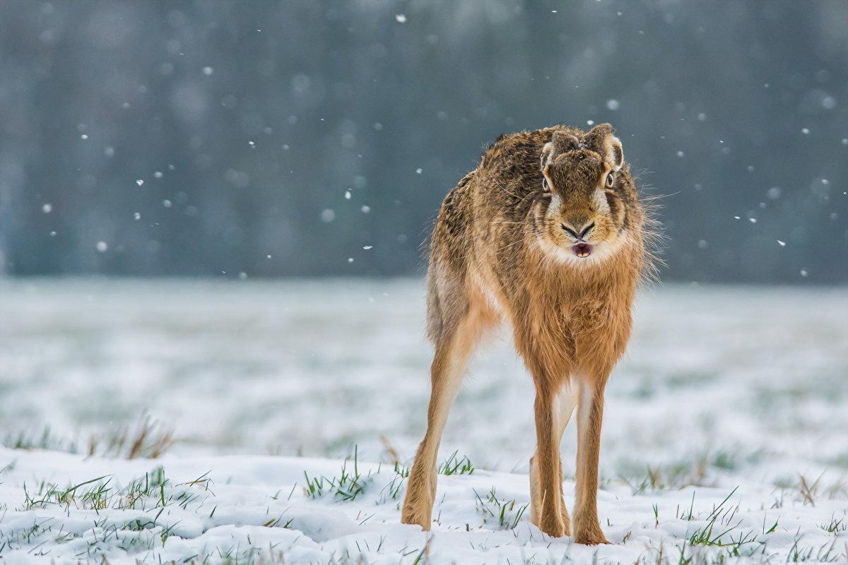 Заяц зимой