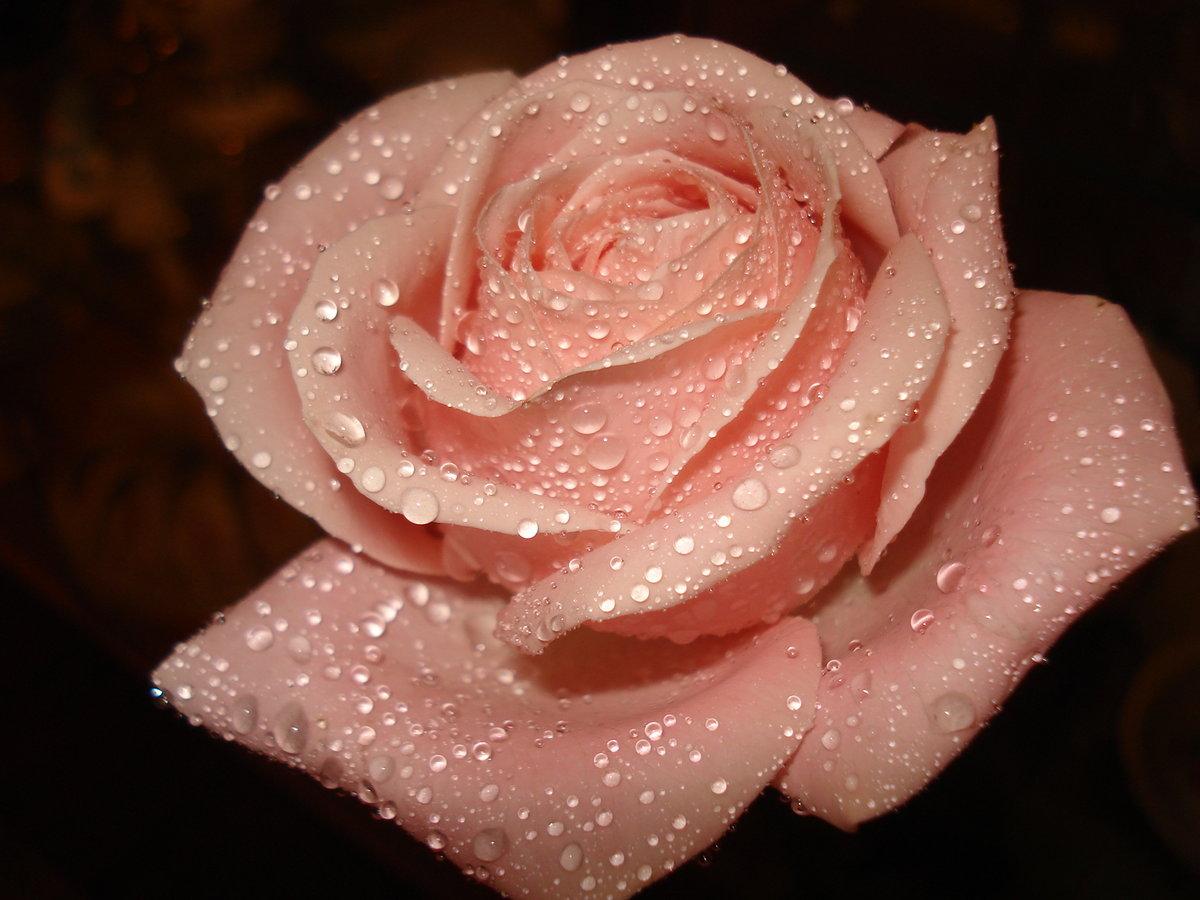 сказала, что картинки на телефон красивые цветы розы блестящие легко растворяет