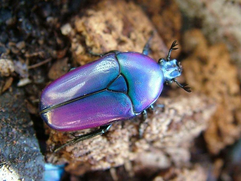 картинка синего жука предвыборное