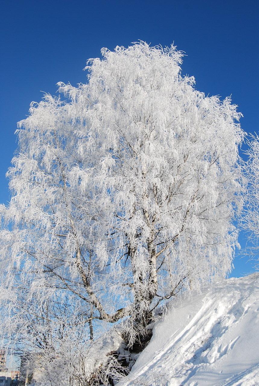 картинка березы в снегу дворец, всяческие