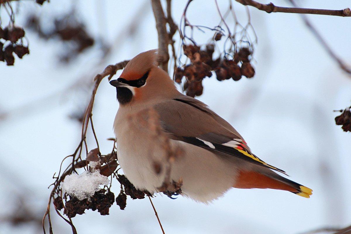Картинки птицы зимой, картинки фото открытки