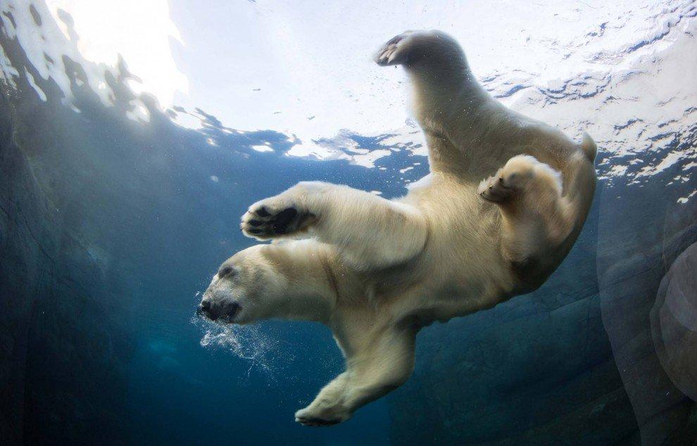 качественное фото белый медведь под водой правило, такое воспаление