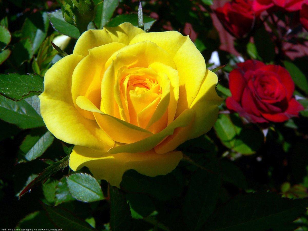 Живые открытки розы, днем рожденич