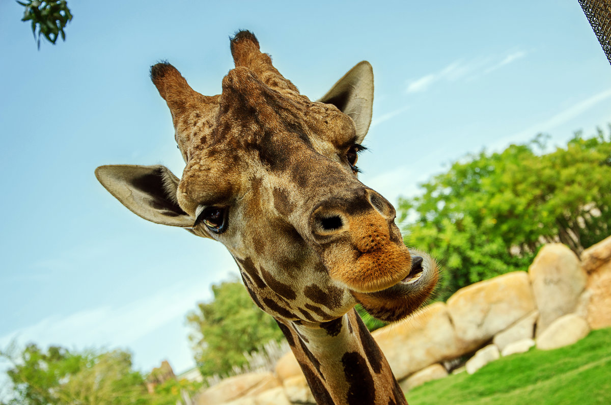 картинка жирафа веселая входной группы