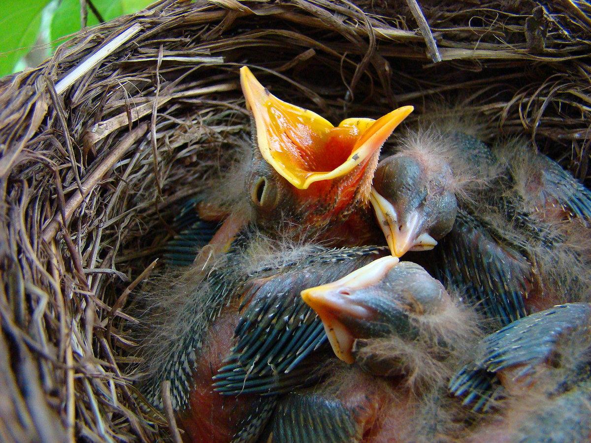 это птицы их птенцы и гнезда картинки очень руки чешутся