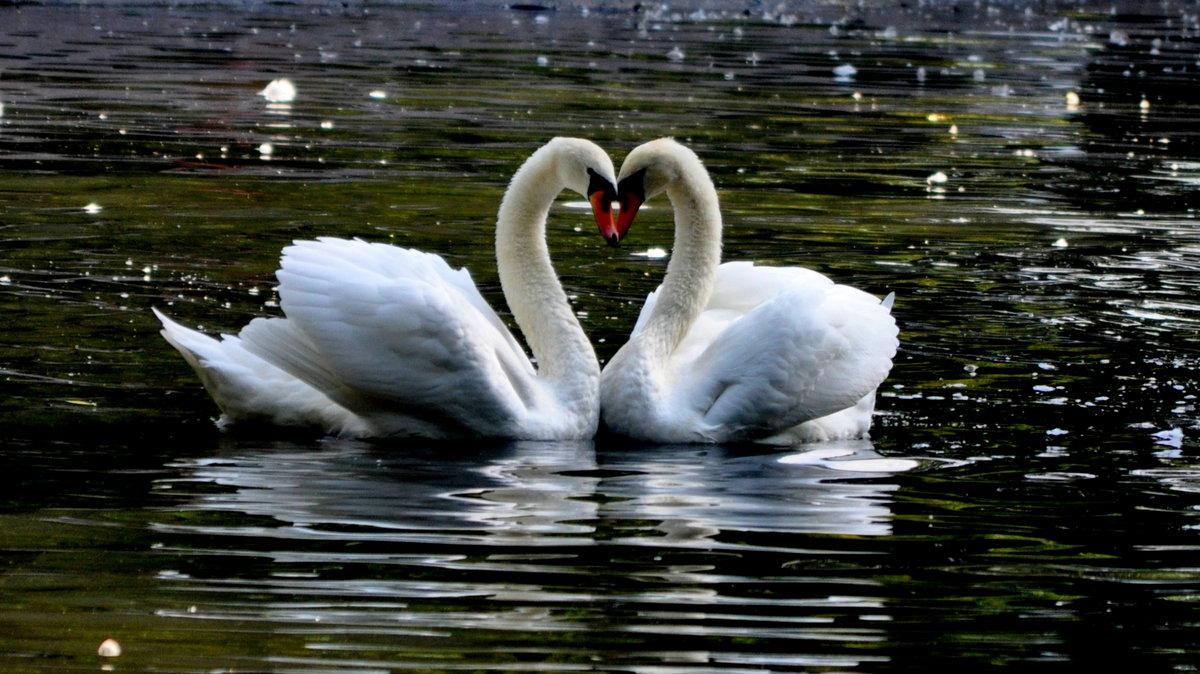 Красивые картинки лебеди с надписями, дорогой