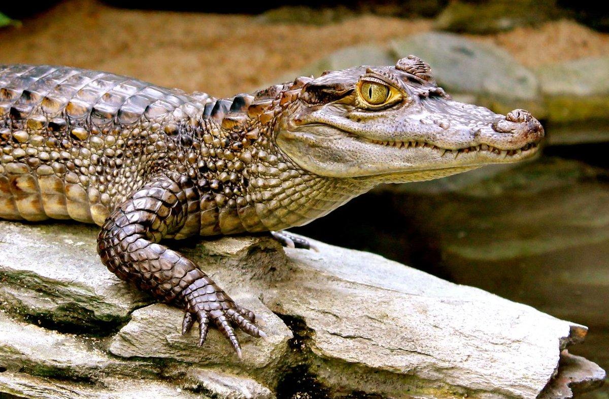 Крокодил маленький картинки