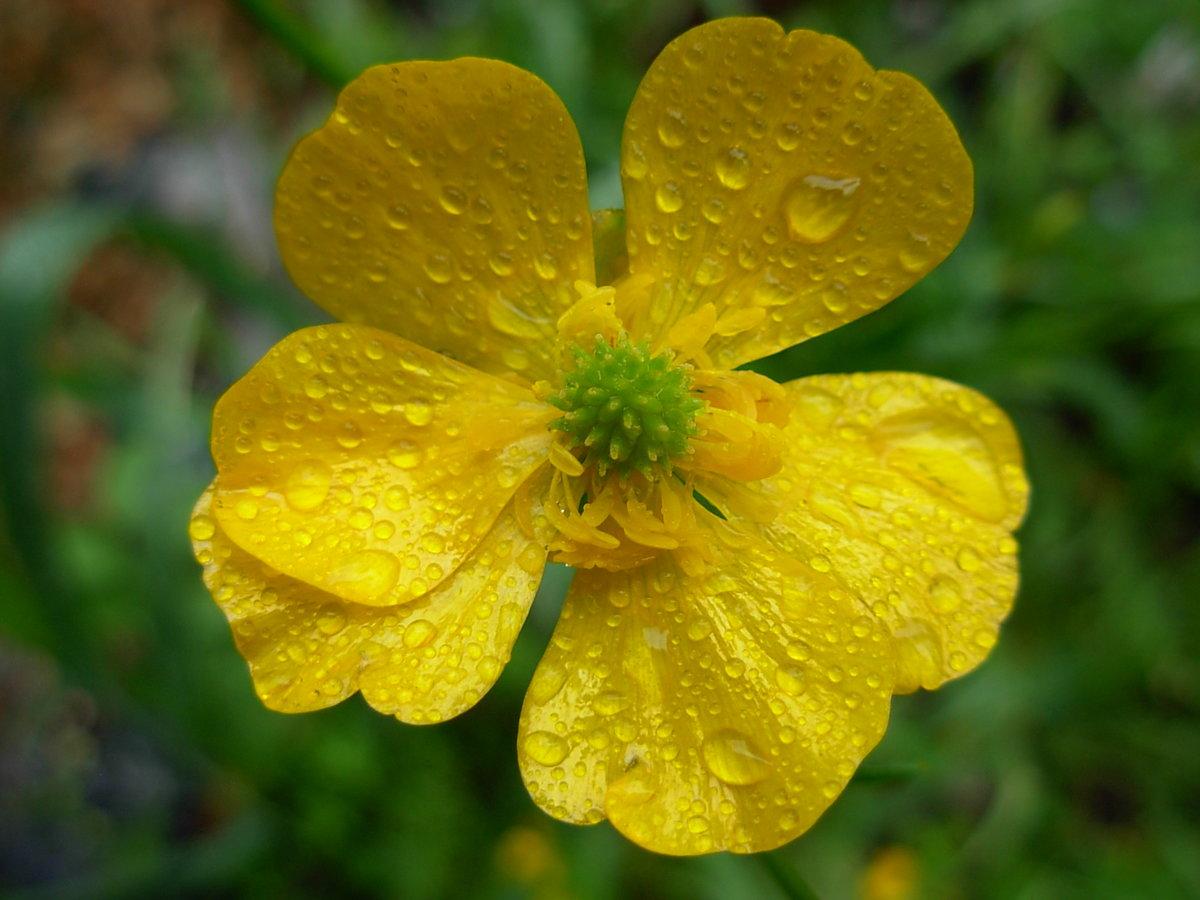 удобства все лютики цветочки фото смену пасмурной зиме