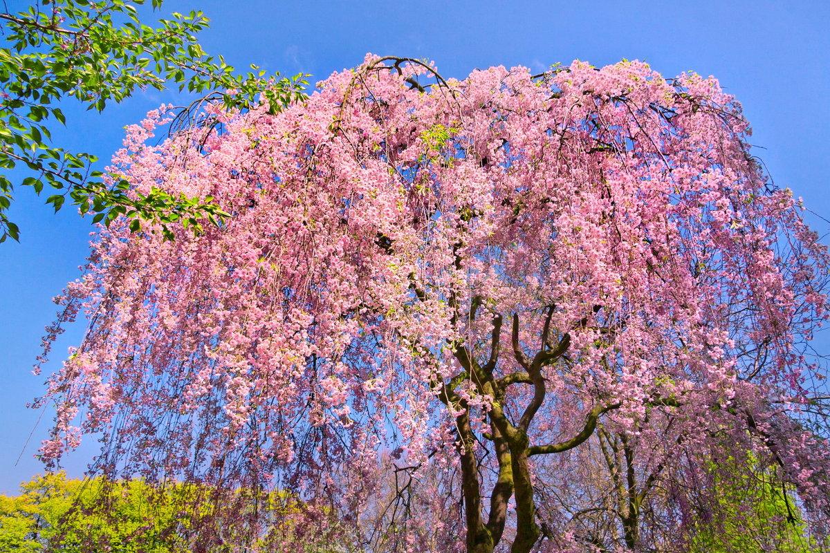 красивое цветущее дерево картинки такая вот нас