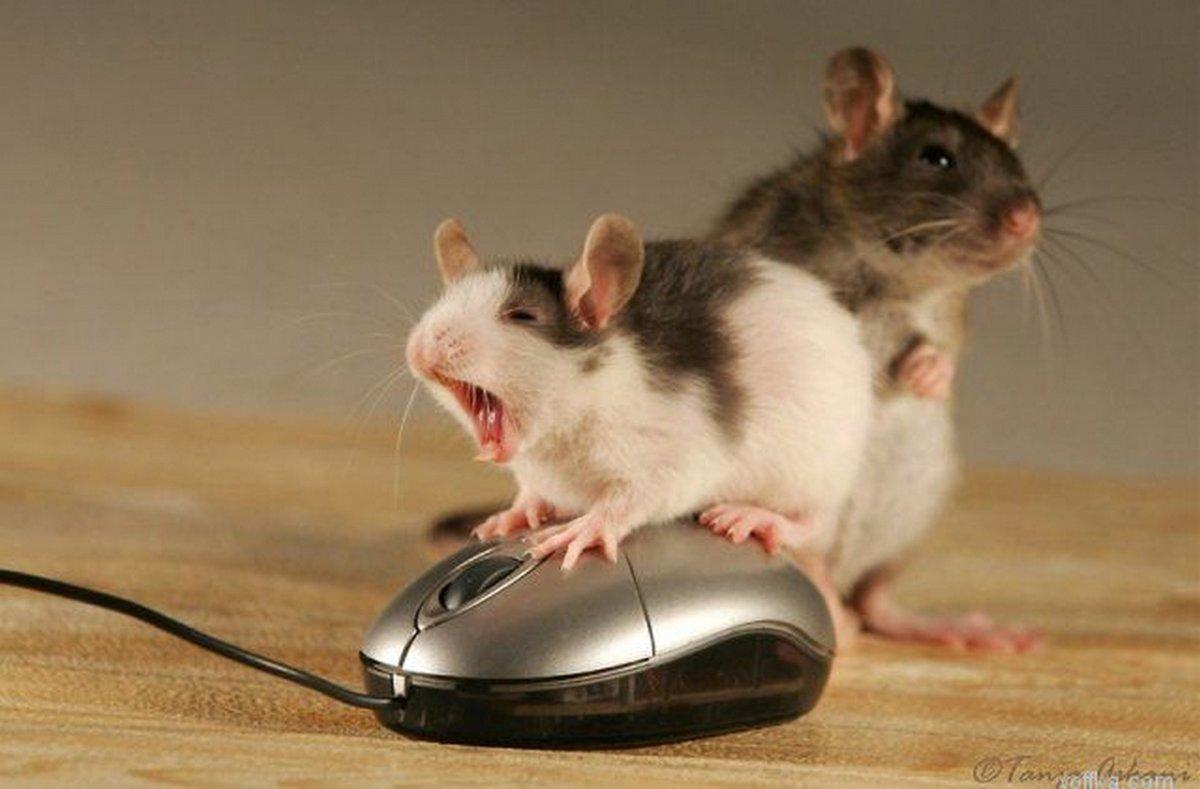 Картинки приколы про мышей, рождением