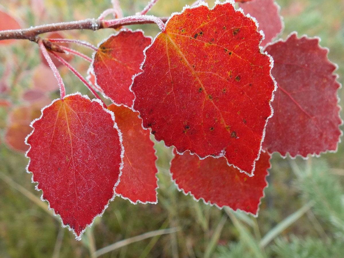 Осенние листья осины картинки