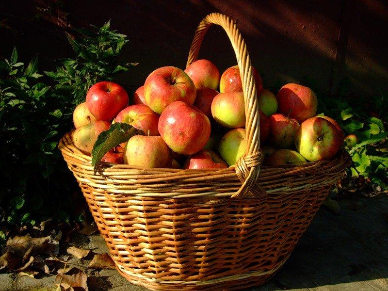 мамка отпускала яблоки в корзине осень фото подобных