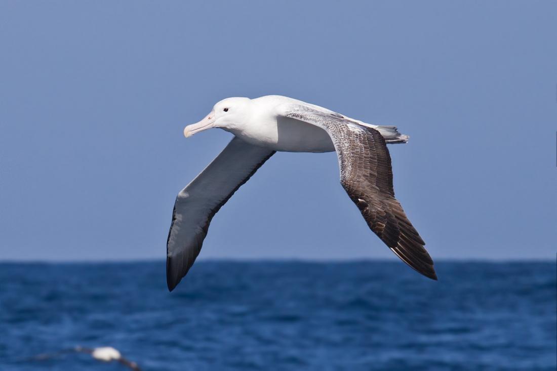 Картинки птицы альбатроса
