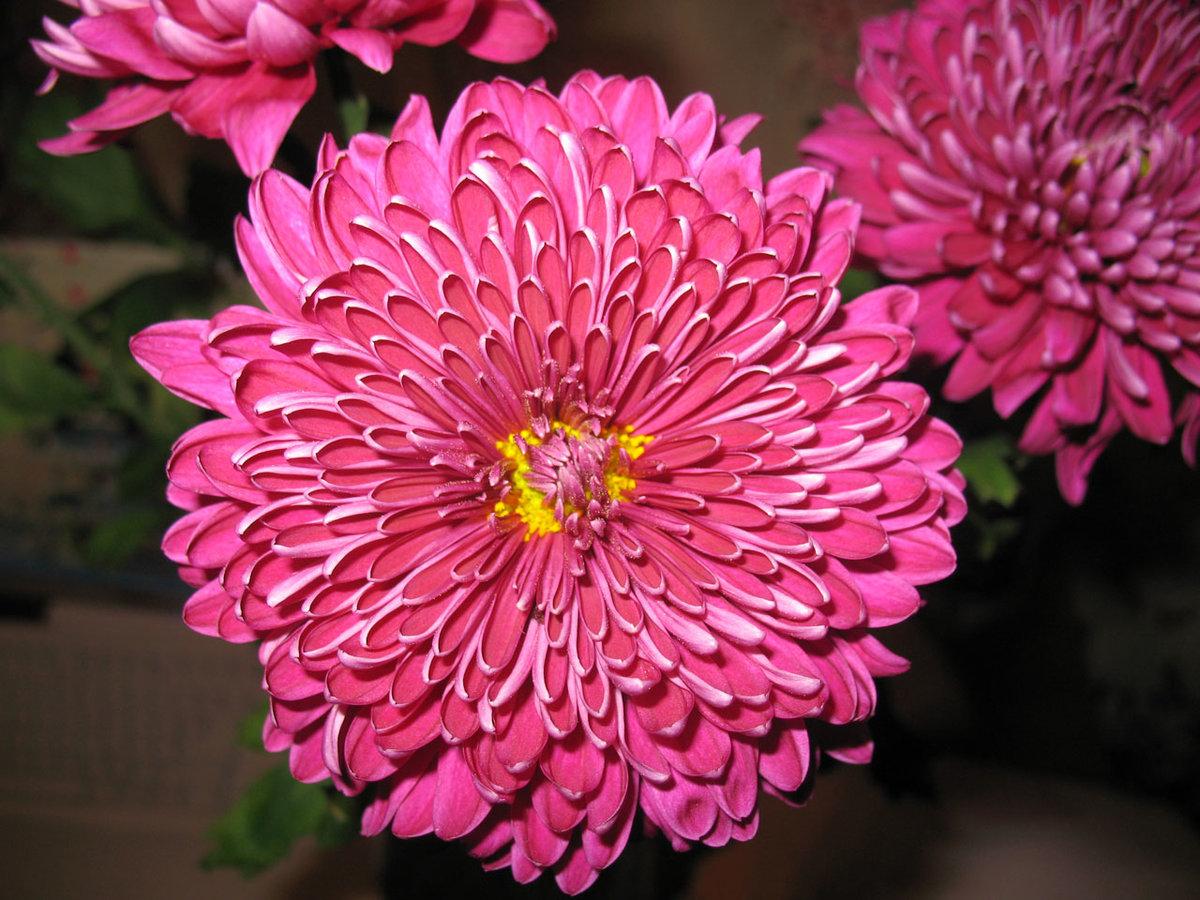 покорены бывают ли красные хризантемы фото что