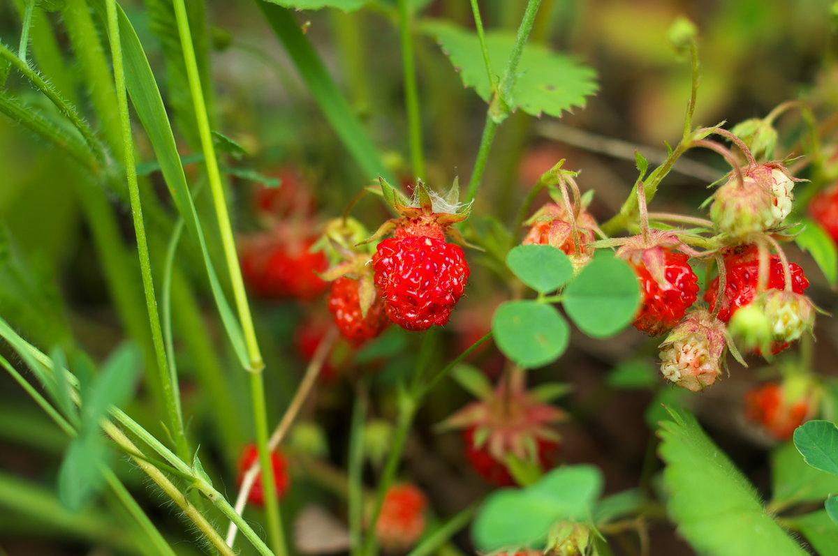 Картинки лесных ягод и цветов