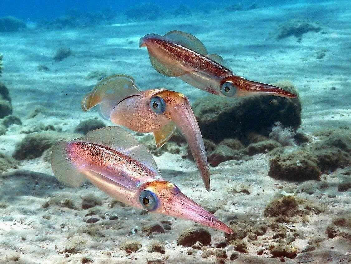 может весить разновидности кальмаров фото там