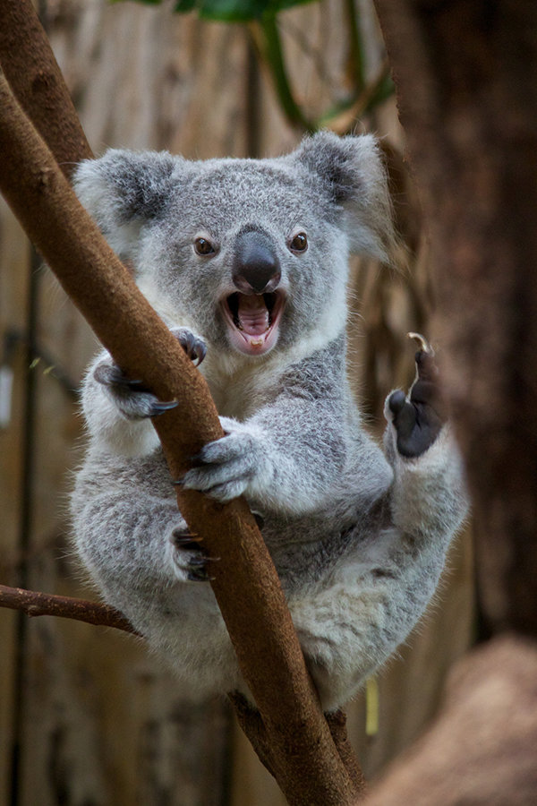 Картинки стихотворению, смешная картинка коала