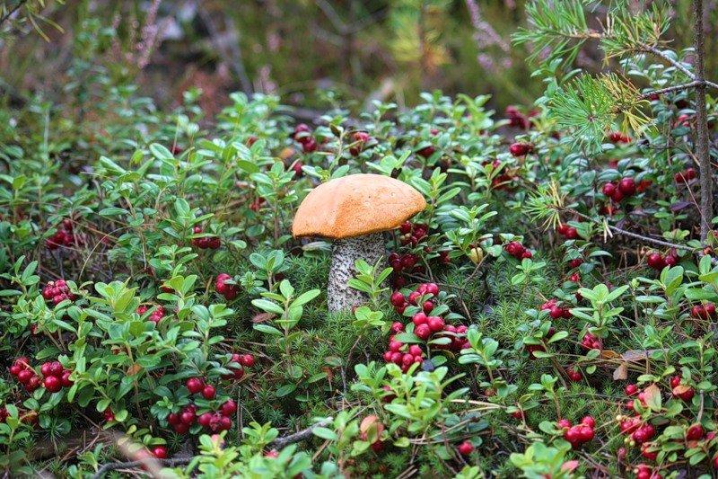 посмотреть фото ягоды и грибы в карелии может