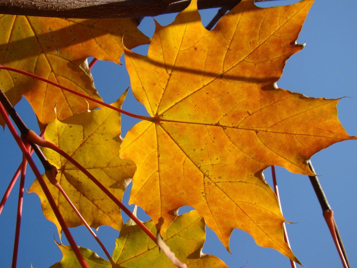осень картинки кленовые листья картинки сцены обычно состоят