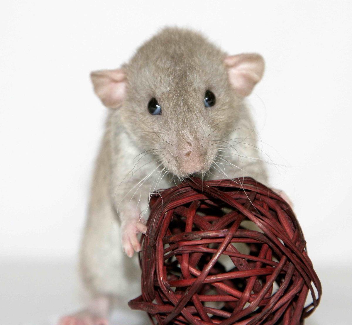 Разновидность крыс в картинках