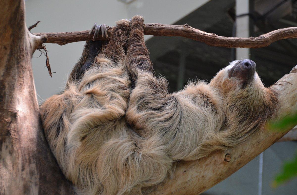 фото ленивец спит керро встречались