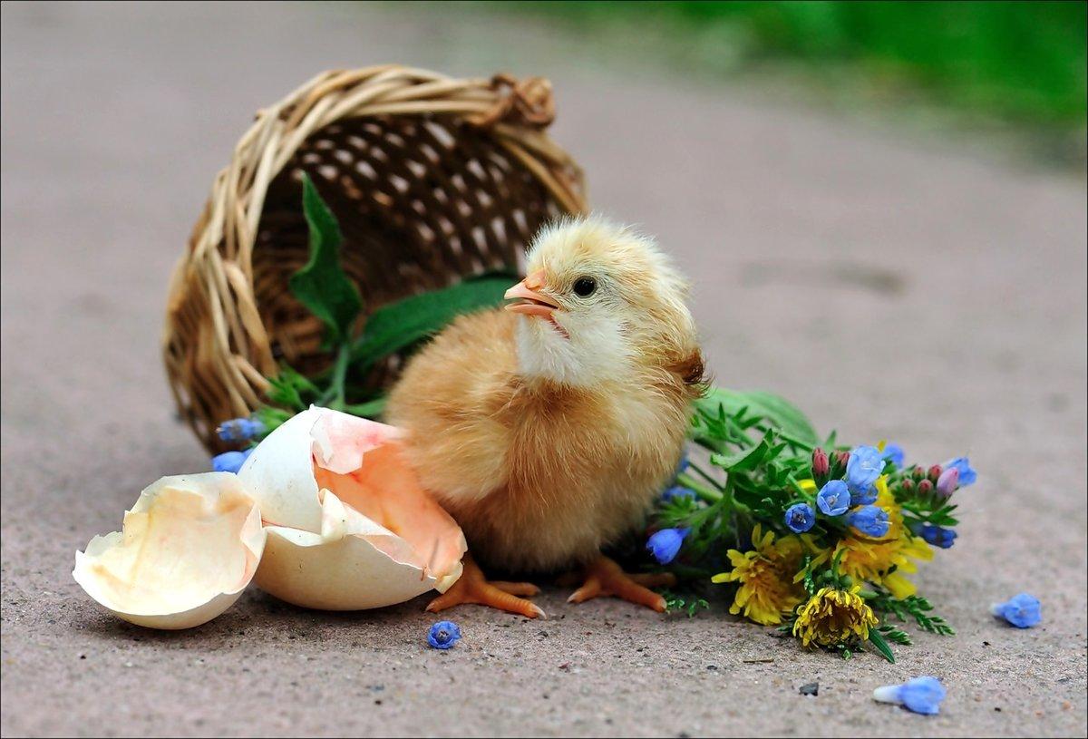 Цыпленок родился картинка