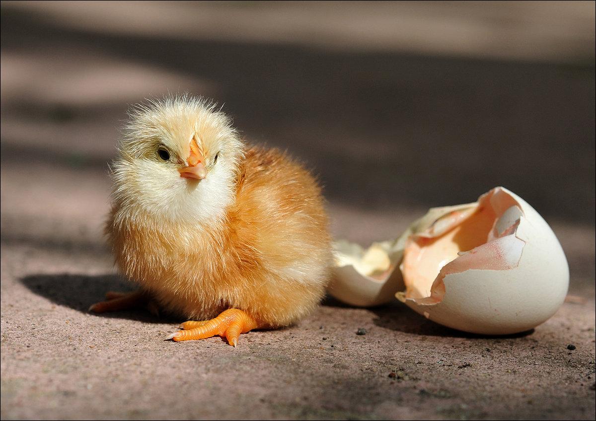 Картинки с яйцом и цыпленком, рождение внука картинки