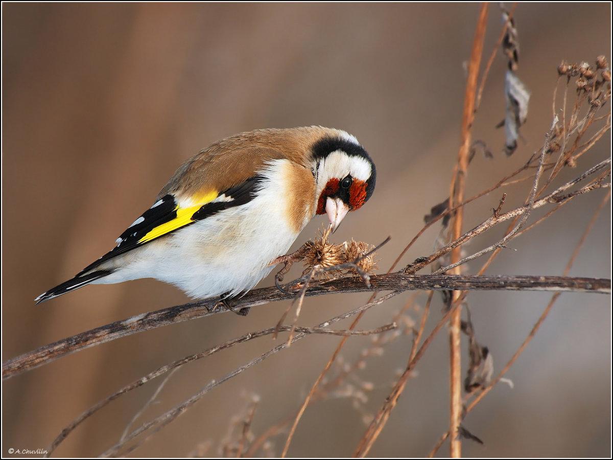 славянского щиглик птица фото зимой официант