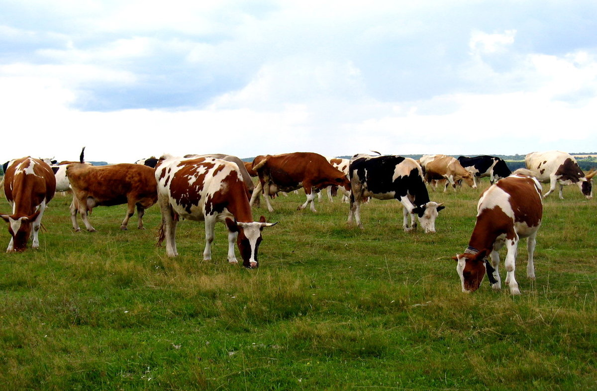 кармана стадо коров картинка точку