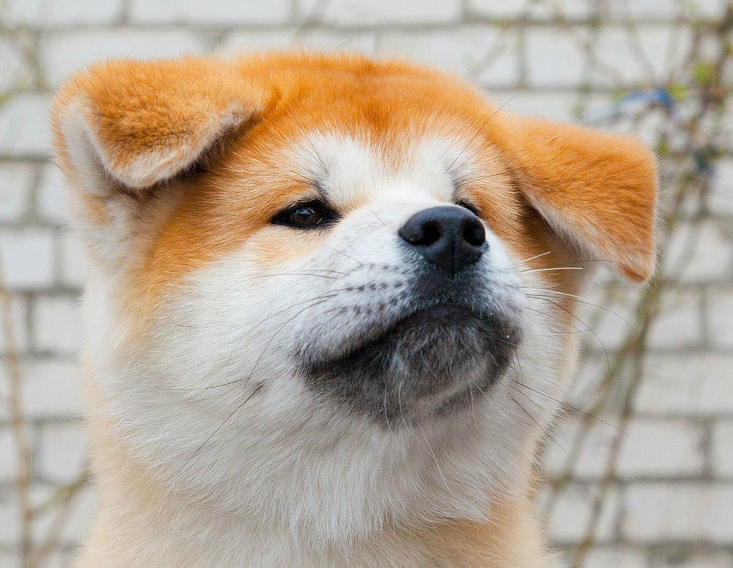 Японская порода собак акита-ину фотография