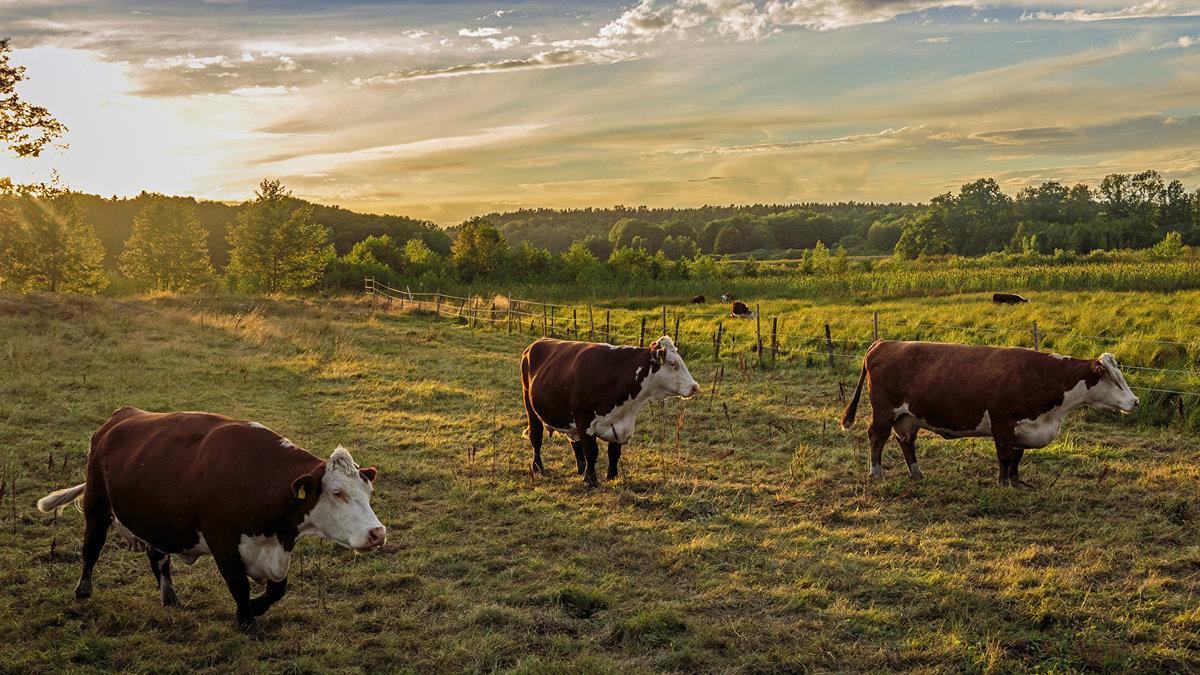Коровы в поле картинки