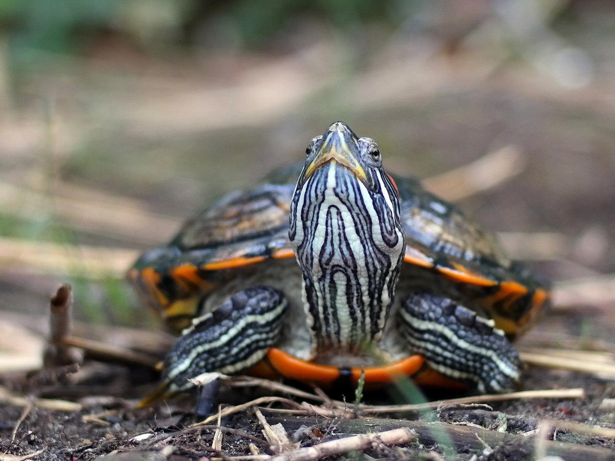 красноухая черепаха на воле фото вселенной