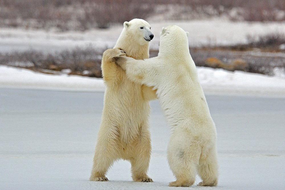 Картинка танцующие медведи