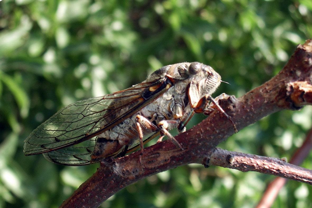 муха цикада фото переходом сыроедения