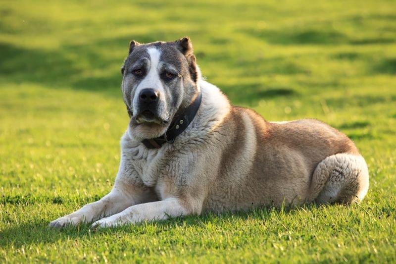 Среднеазиатская овчарка — древняя порода собак из регионов Средней Азии