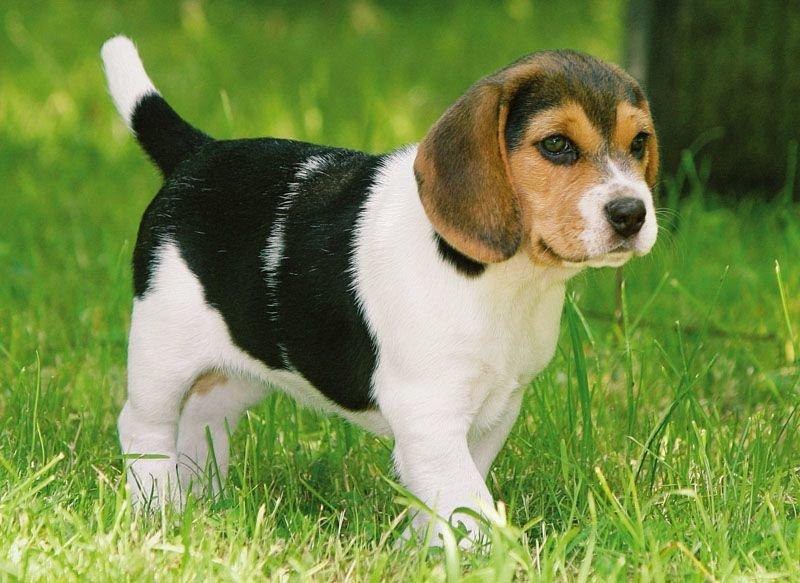 Картинки собаку бигль